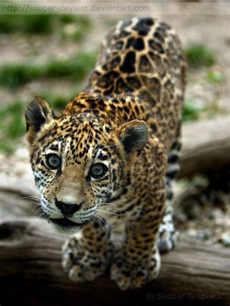 amazing jaguar s and animals photography a jaguar cub with