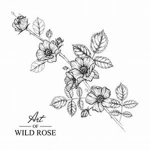 Wild rose leaf and flower drawings. vintage hand drawn ...