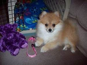 Pomimo Dog Breed Information and Pictures