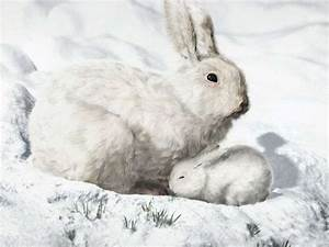 Arctic Hare Info And Pictures | All Wildlife Photographs