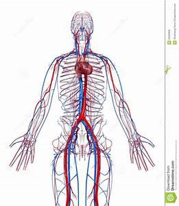 Circulatory System Of Human Body Diagram