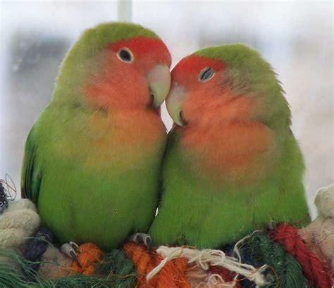 Peach-faced Love Birds