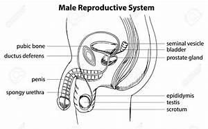 Easy Diagram Of Male Reproductive System Education ...