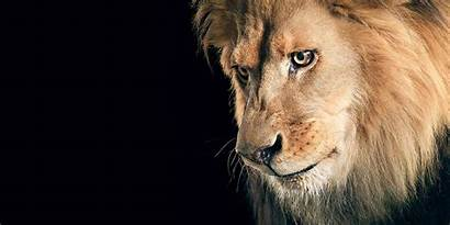 Lion Wallpapers 4k Sad Backgrounds Animals Background