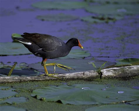 common moorhen gallinula chloropus natureworks