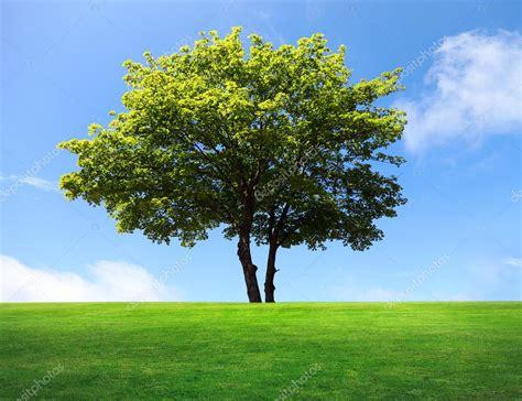 of tree a big maple tree on green field stock photo 169 majafoto 6003640