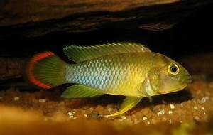 Cyprinidae: Apistogramma Nijsseni