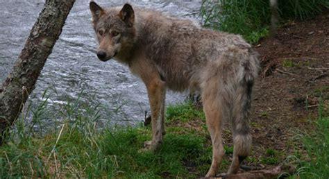 war  wolves infographic defenders  wildlife