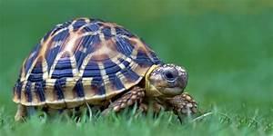 Indian Star Tortoises - Star Tortoise Care