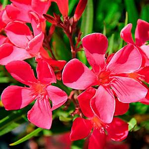 Oleander Winterhart Kaufen : roter oleander xl qualit t online kaufen bei g rtner p tschke ~ Eleganceandgraceweddings.com Haus und Dekorationen