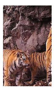 Siberian Tiger Safari, Russia wildlife holiday - Natural ...