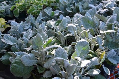 89 Best Grey Plants Images On Pinterest  Garden Plants