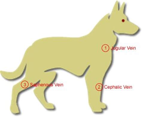saphenous vein  dogs google search injection sites