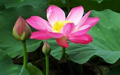 Lotus Flowers Wallpapers Desktop Wallpapers13