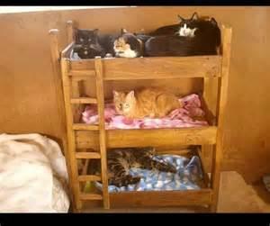 cat bunk beds kitty bunk beds join cat gt gt http ozzicat