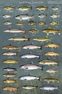 Fresh Water Game Fish Poster  61x91cm  Fishing Diagram