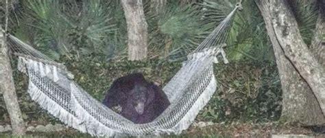 amaca accento florida orso bruno si riposa sull amaca in giardino04