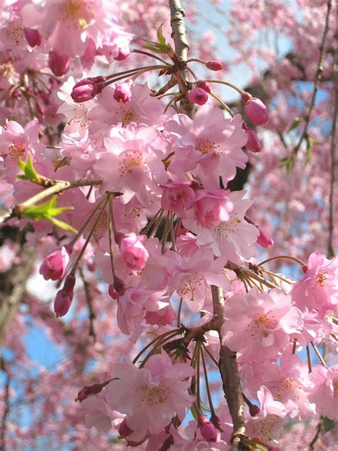 Cherry Blossoms Tree Pink Flowers