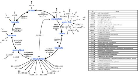 Enzymatic Cycle Diagram by The Tca Cycle And The Enzymatic Connections Of Its