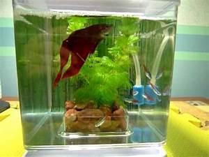 tetra fish and betta Betta Fish and Neon Tetra