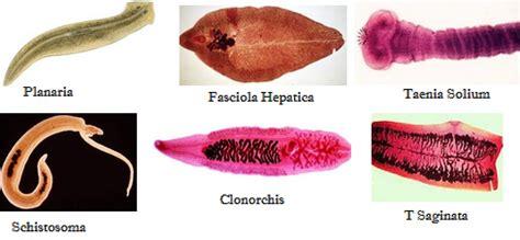 Ciri Ciri Reproduksi Klasifikasi pengertian platyhelmintes ciri ciri klasifikasi