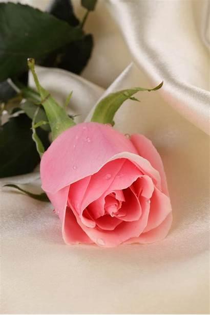 Bunga Cantik Gambar Mawar Yang Rose Roses