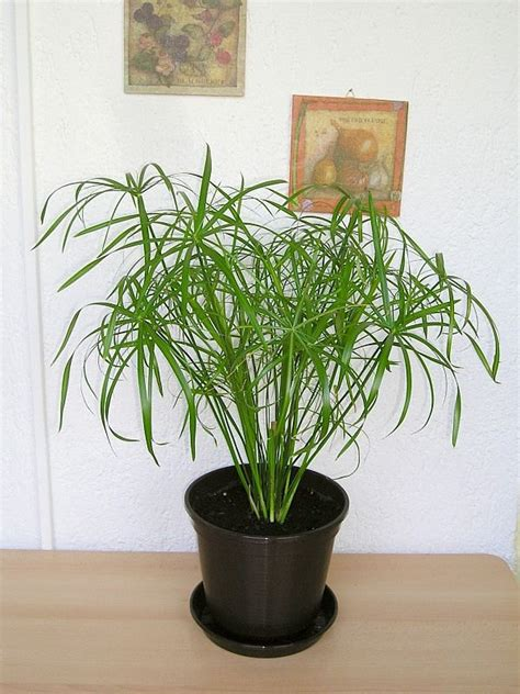 Schefflera Giftig Baby by Umbrella Plant Care Growing Cyperus Umbrella Plants
