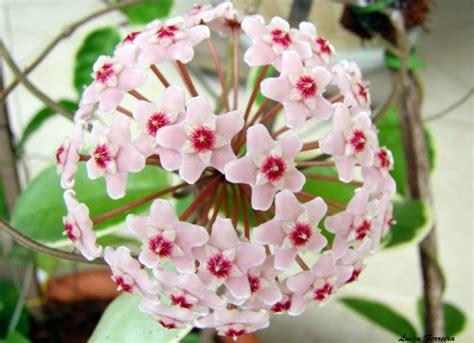 Informações Sobre a Hoya Carnosa   Flores - Cultura Mix