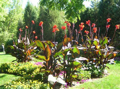 canna william s featured plants summer bulbs