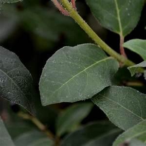 Laurier Tin : viburnum tinus eve price laurier tin ~ Mglfilm.com Idées de Décoration