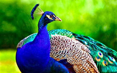 Wallpaper Animals And Birds - 60 beautiful peacock bird facts hd images wallpapers
