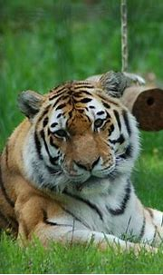 Calgary Zoo, June 11, 2011 009 | Amur (Siberian) Tiger ...