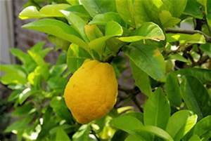Dünger Für Zitronenbaum : zitruspflanzen pflege schneiden und berwintern ~ Watch28wear.com Haus und Dekorationen