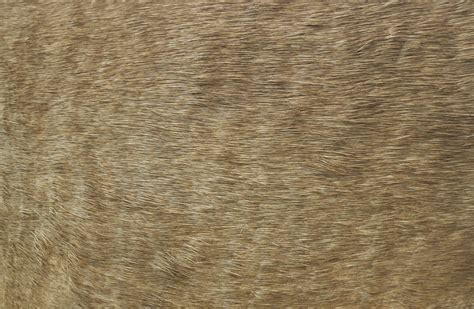 Fur0037   Free Background Texture   animal fur beige gray