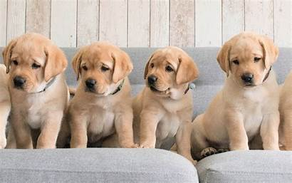 Retriever Labrador Golden Puppies Dog Dogs Brown
