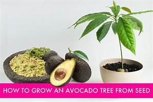 Diy How To Grow Your Own Avocado Tree 1001 Gardens