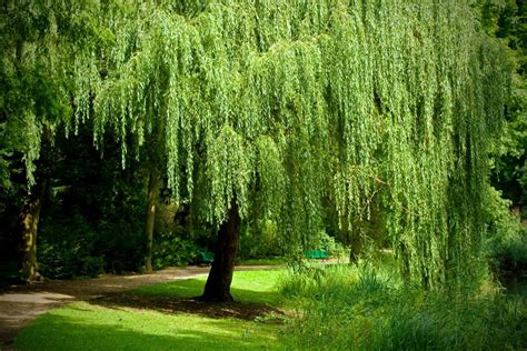 weeping willow tree growing a weeping willow tree salix babylonica