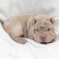 White Shar Pei Puppies