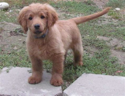 Golden Cocker Retriever Dog Breed Info Pics And More