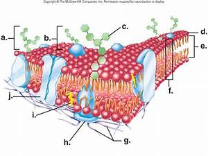 Cell Scientist And Organelle Quiz