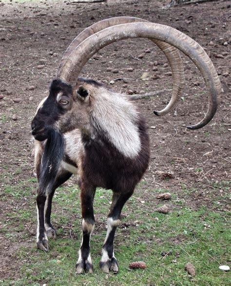 Best 25 Antelope Horns Ideas On Pinterest Antelope