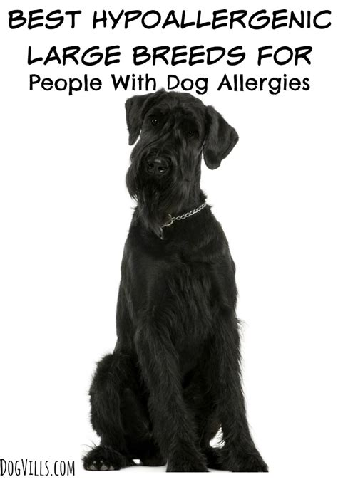 big non hypoallergenic dogs best hypoallergenic large breeds dogvills