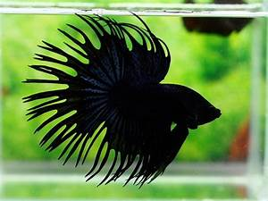 17 Best images about Fighting Fish Betta on Pinterest ...