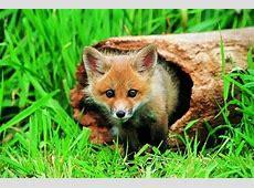 Foxy Fox Family