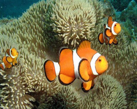 Karpet Karakter Ikan Nemo clownfish wallpapers wallpaper cave