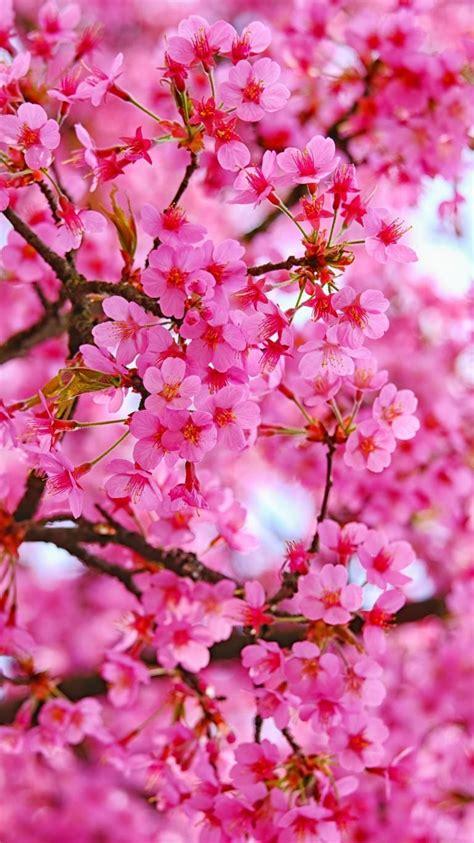 Photo of pink cherry blossoms. Sakura🌸Cherry Blossom in 2020   Cherry blossom wallpaper, Cherry blossom, Pink flowers