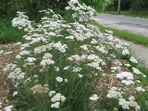 White Yarrow Plant