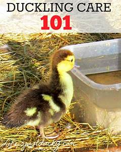 Raising Ducks 101 Duckling Care Life Is Just Ducky