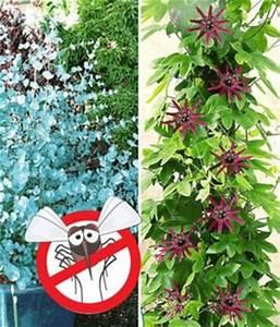 Kletterpflanzen Mehrjährig Winterhart : winterharter eukalyptus winterharte passionsblume von ~ Michelbontemps.com Haus und Dekorationen