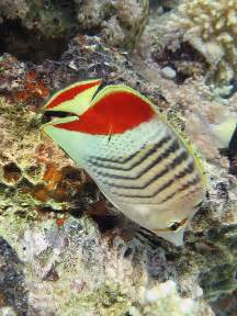 Crown Butterfly Fish